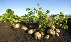 Local fresh potatoes
